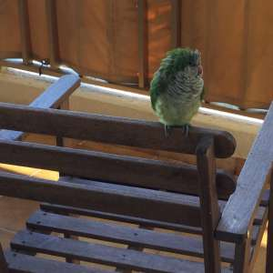 Found: Parakeet (domesticated)